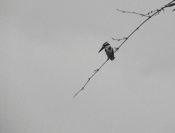 The Black & White World of the Pied-Kingfisher