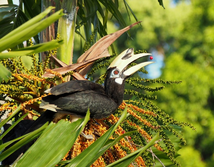Oriental Pied Hornbill about to eat a fruit
